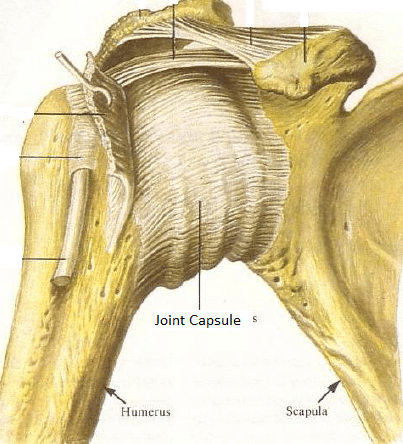 Shoulder and neck pain, why joint capsules are an often overlooked ...
