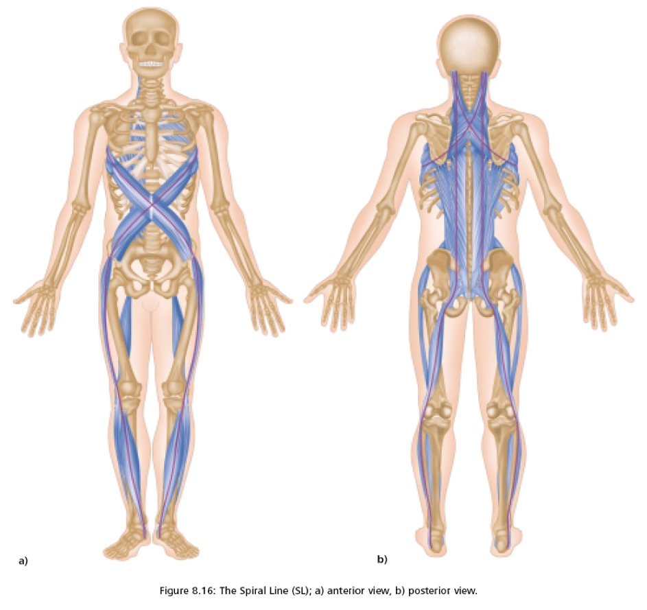 Anatomytrains The Spiral Line Thomas Myers Charschan Chiropractic